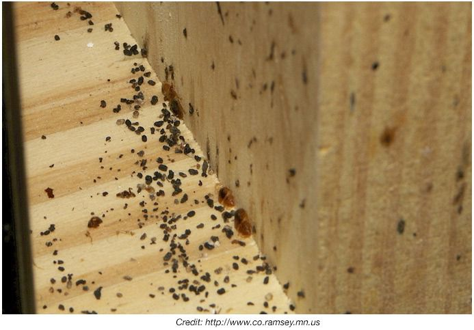 Pictures Of Bed Bug Feces At Bed Bug Supply