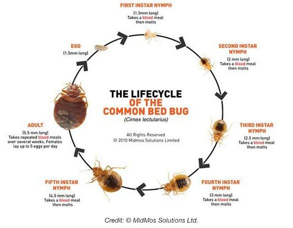 How Long Can Baby Bed Bugs Live Without Feeding