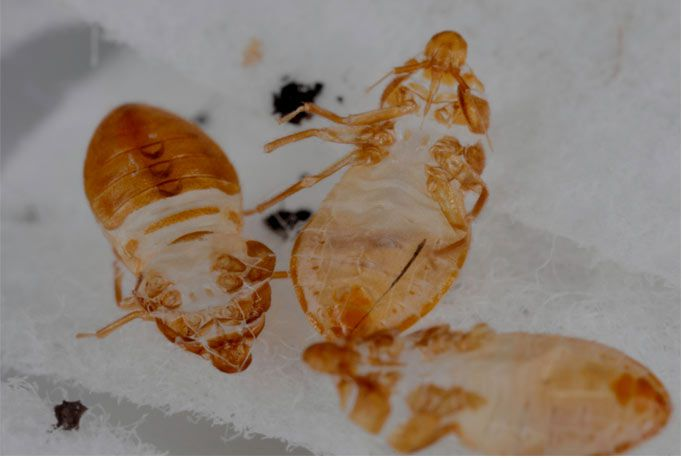 Pictures Of Bed Bug Skins At Bed Bug Supply