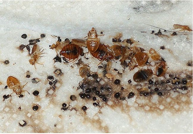High Quality There Are 5 Stages Of Development During A Bed Bugu0027s Maturity. During Each  Stage, A Bed Bug Will Molt Their Skin To Make Room For A Larger Skin, ...
