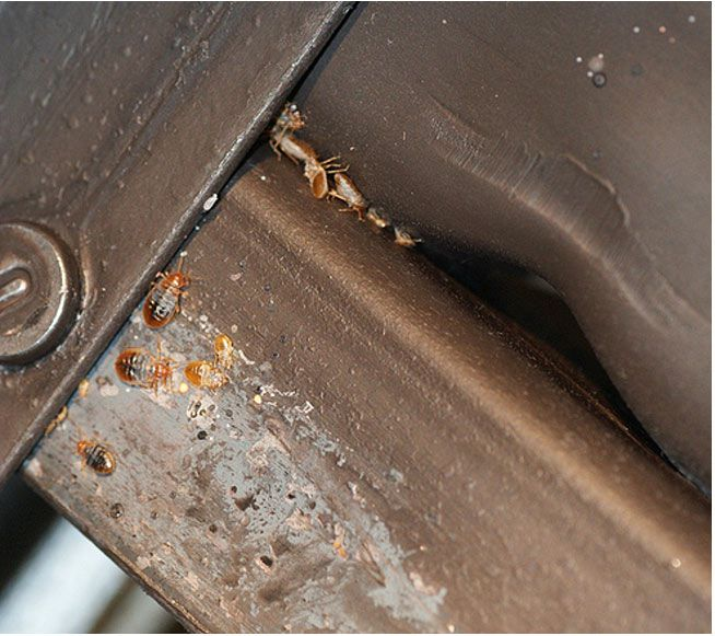 Signs Of Bed Bugs On Your Bed At Bed Bug Supply