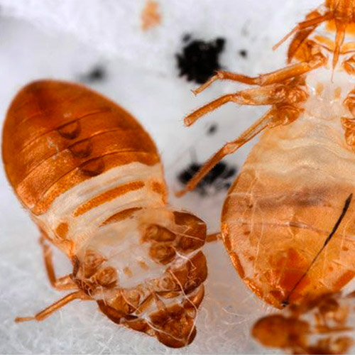 Bed bug skins pictures
